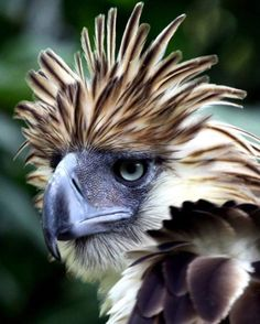 Philippine Eagle. Fierce  Regal  Lethal when necessary.