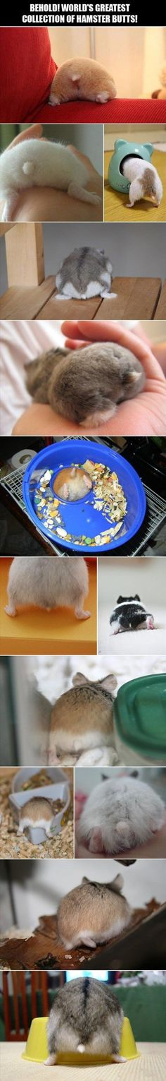 lovely collection of hamster butts. A lovely collection of hamster butts.--- Oh my god they're so freaking CUTE~ lovely collection of hamster butts.--- Oh my god they're so freaking CUTE~ Baby Animals, Funny Animals, Cute Animals, Baby Hamster, Hamster Life, Syrian Hamster, Cute Hamsters, Dwarf Hamsters, Little Critter
