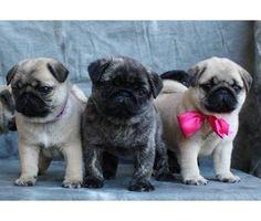 Fluffy pugs! Aww!
