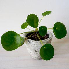 ピレア ペペロミオイデス | moki product