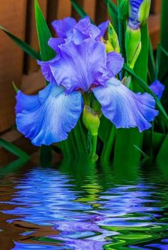 Blue & Purple - Iris Reflections