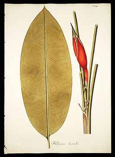 61559 Heliconia psittacorum L.f. [as Heliconia humilis (Aublet) Jacq.]  / Jacquin, N.J. von, Plantarum rariorum horti caesarei Schoenbrunnensis descriptiones et icones, vol. 1: t. 48 (1797)