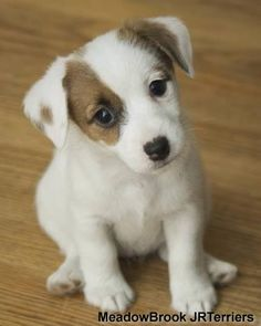 20 Jack Russell Terrier Dogs Photos You Will Love Perros Jack Russell, Jack Russell Puppies, Jack Russell Terriers, Cute Puppies, Cute Dogs, Dogs And Puppies, Doggies, Maltese Puppies, Terrier Puppies
