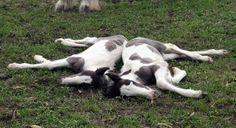 Twin Gypsy Cob Foals