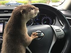 Otter is frustrated with traffic. Otters Cute, Baby Otters, Cute Baby Animals, Animals And Pets, Funny Animals, Wild Animals, River Otter, Sea Otter, Significant Otter