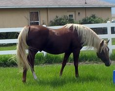 Arabian in dark chestnut, flaxen mane and tail - MY favorite color of horse. Cannot resist this look.