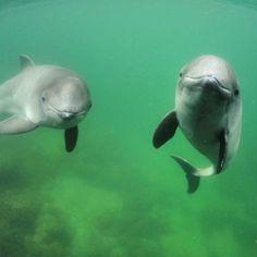 Hvalsafari ved Kullen. Kullabergs-guiderne sejler dig ud til de søde marsvin(små hvaler) hele sommerhalvåret. At være til havs ved Kullen er en helt særlig oplevelse. Kysten er fuld af stejle klipper og grotter og er samtidig meget frodig, det kan man så nyde sammen med de fine marsvin🐬 #kullabergsguiderna #kullen #marsvin #tumlaren #kullaberg #detherersverige #hvalsafari #hval Foto: Fjord og Baelt