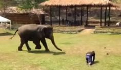 This man falls, but watch the reaction of the elephant. Amazing!