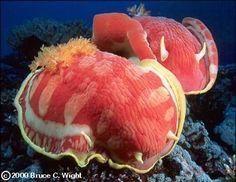 The Sea Slug Forum - Hexabranchus sanguineus