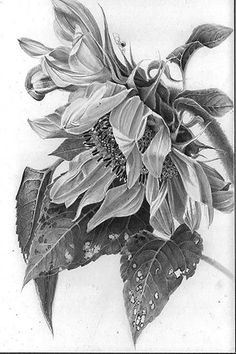 40 Easy Flower Pencil Drawings For Inspiration Realistic Flower Drawing, Pencil Drawings Of Flowers, Sunflower Drawing, Flower Sketches, Floral Drawing, Sunflower Art, Sunflower Paintings, Flower Art Drawing, Graphite Drawings