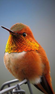 About Wild Animals: Beautiful rufous hummingbird