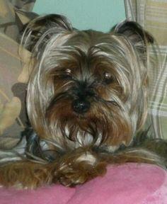 Mi princecilla #yorkie #yorkshireterrier #cutedogs