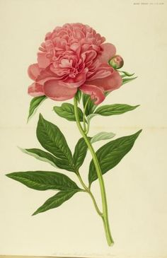 The Double Sweet Scented Chinese Peony | Cary Graphic Arts Collection