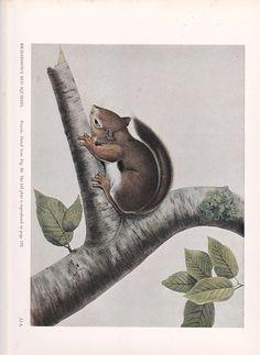 Vintage impresión por Audubon de una ardilla roja por Route44West