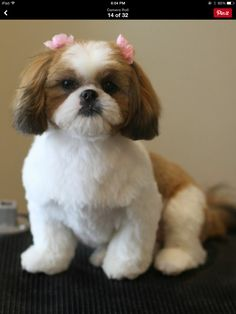 shih tzu puppy after grooming, teddy bear trim, puppy cut, short round head, dog groomer in Coquitlam Teddy Bear Puppies, Cute Teddy Bears, Cute Puppies, Cute Dogs, Shih Tzu Hund, Shih Tzu Puppy, Shih Tzus, Shih Poo, Dog Grooming Styles