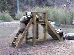 パンダ、難攻不落。 Giant Panda,The Impregnable Fort - YouTube
