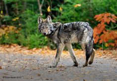 Norther rocky mountian wolf