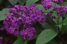 Heliotrope.  I always have a pot of this on my porch for the beautiful vanilla/soft spice scent.  One pot will perfume the entire porch area.