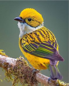 Silver-throated tanager Tangara icterocephala), a brightly colored yellow and green passerine bird. This beautiful bird resides in Costa Rica, Panama, western Colombia, and western Ecuador. All Birds, Cute Birds, Pretty Birds, Little Birds, Angry Birds, Most Beautiful Birds, Animals Beautiful, Beautiful Pictures, Exotic Birds