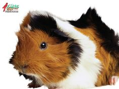 Top 12 different types of guinea pig breeds sciox Gallery