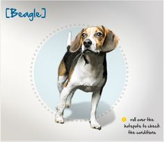 Did you know that the Beagle's keen sense of smell has them employed as detection dogs by the USDA? Read more about this breed by visiting Petplan pet insurance's Condition Checker!