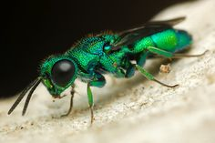 beautiful Cuckoo Wasp from Project Noah - would be beautiful color/pattern theme for hand-painted silk maybe?