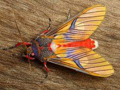 Tiger Moth, Idalus sp - Ecuador
