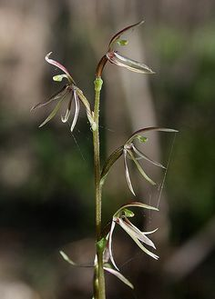 mosquito orchid | Flickr - Photo Sharing!