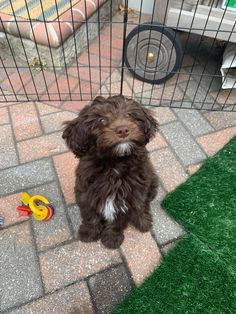 Chocolate F1b Tiny Bernedoodle baby, Charley. She is so beautiful! #Furbaby #Dog #puppy #puppies #doodles #Bernedoodle #labradoodle #goldendoodle #sheepadoodle #poodle #bernesemountaindog #adorable #gorgeous #beautiful #love #photography #cute #diy #tutorial #travel #lifestyle #luxury #workout #fashion #happiness #inspiration #baby #meme #video #family #fall #projects #craft #outdoors #hiking #doggo #dogs #hypoallergenic