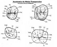 Anatomia de Dientes Temporales