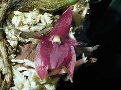Andy's Orchids - Orchid Species - Sunipia (Bulbophyllum) - grandiflora
