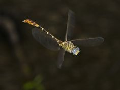 Eastern Ringtail Male Dragonfly in Flight (Erpetogomphus Designatus), Odonata, Gomphidae, Texas
