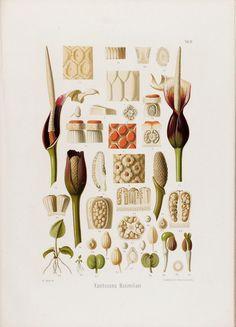 Aroideae Maximilianae : - Biodiversity Heritage Library