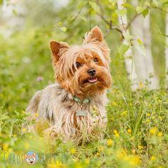 Müde. Einfach nur müde.  #Hund #Hundeliebe #yorkie #yorkshireterrier #terrier #yorkiegram #yorkiedeutschland #terrierliebe #hundefotos #hundetricks #jena #germanblogger #hundeblog #blogger_de #instablogger_de #yorkieliebe #yorkiemama #hundejunge #yorkiesgermany #hundefotografie #yorkietricks #trickhund #germandog #hundealltag #canon #fellnase #naturliebe #europadogs #hundebesitzer #fusselrolle