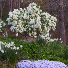 Exochorda  'Blizzard'  Pearl Bush, pure white flowers in Mar/Apr. prune to keep small or train into a small tree 5', easy to grow.