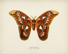 Public Domain | Attacus Atlas Moth (Attacus Aurora) illustrated by Charles Dessalines D' Orbigny (1806-1876). Digitally enhanced from our own 1892 edition of Dictionnaire Universel D'histoire Naturelle. | premium image by rawpixel.com