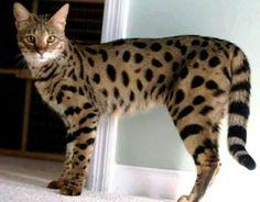 Bengal cat. Absolutely beautiful!