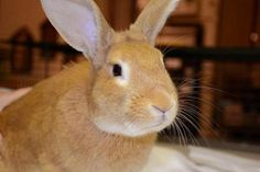 Cheeto is an adoptable Palomino Rabbit in Chicago, IL Cheeto--almost as orange as his namesake- is a big boy who likes to play. He is energetic and lik ... ...Read more about me on @petfinder.com