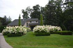 Limelight Hydrangeas In Bloom