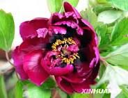 images of peonies flowers - Google Search