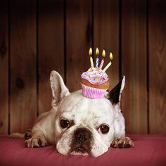 French Bulldog With Birthday Cupcake Art Print by Retales Botijero - Geburtstag Birthday Messages, Happy Birthday Wishes, Birthday Quotes, Birthday Greetings, Birthday Cards, Happy Birthday Sister Funny, Animal Birthday, Dog Birthday, Birthday Cupcakes