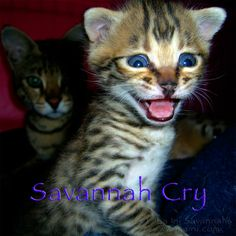 The very young F2B Savannah kitten you see in mid-meow is named Niko Nekko. You can listen to the song, Savannah Cry, here.