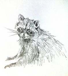 Mel Griffin, raccoon illustration. graphite drawing on paper.  www.melgriffin.com