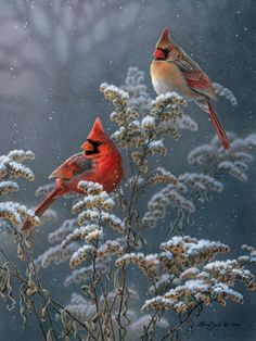 Winter Cardinals On Goldenrod Larry Zach Wildlife Art - Cardinals Are One Of The Most Popular Songbirds With Birders And Nature Lovers Winter Cardinals On Goldenrod Is Zachs Second Cardinal Painting It Features A Pair Of Cardinals Sitting On Golden Pretty Birds, Love Birds, Beautiful Birds, Animals Beautiful, Cute Animals, Funny Animals, Photo Animaliere, Cardinal Birds, Tier Fotos
