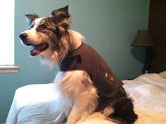"""Jake is a Border Collie.. intelligent and willing to please. He loves to play Frisbee, ball or anything else you may throw he will happily chase down and bring back to you. He will """"potty"""" on command. Jake loves to ride in the truck and go places. (OK)  http://www.petfinder.com/petdetail/27262345/"""