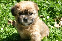 """Shorkies """"Our moms are full shih Tzu and our dad is full yorkshire terrier. This mix makes for a teddy bear breed that is a non shedding dog. They range between four and twelve lbs. Shorkie Puppies, Teacup Puppies, Cute Puppies, Cute Dogs, Dogs And Puppies, Yorkies, Non Shedding Dogs, Designer Dogs Breeds, Yorkshire Terrier Dog"""