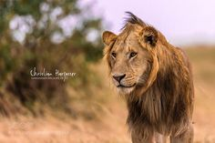 Lion Massai Mara by ErahHa #animals #animal #pet #pets #animales #animallovers #photooftheday #amazing #picoftheday