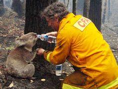 Um bombeiro saciando a sede de um coala após um incêndio numa floresta na Austrália.