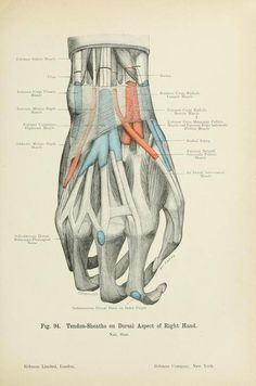 Tendon sheaths on the dorsal surface of the hand from 'Atlas of applied (topographal) human anatomy' by Dr. Karl von Bardeleben and Dr. Heinr. Haeckel, 1906.