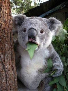 What do you mean I'm not a bear?  I have all the koalafications.